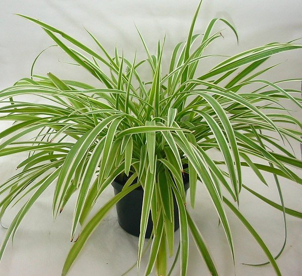 Spiderplant Care: 5 Houseplants That Will Improve The Air Quality In Your Home