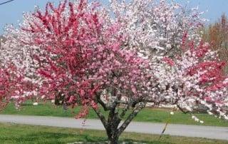 amazing tree of 40 fruit